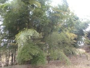 北海道では珍しい竹林