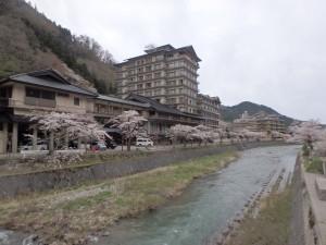 温海川沿いに咲く桜