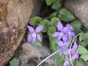 紫のアイヌタチツボスミレ