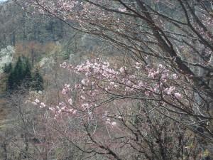 ピンクのエゾヤマザクラ