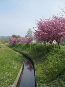 川沿いにきれいな桜