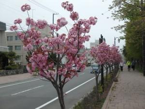 毎年きれいな桜
