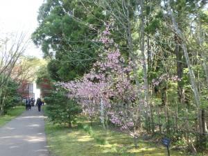 桜がまだ咲いています