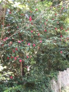 沢山の赤い花