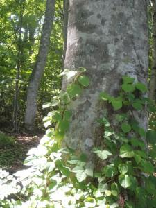 ブナの木の葉っぱ