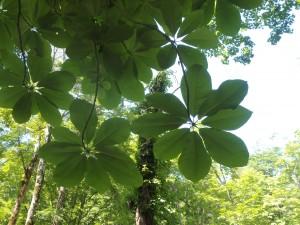 立派なホウノキの葉