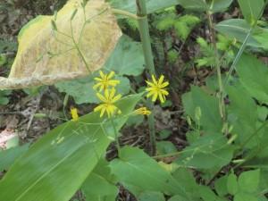 花開くハナニガナ