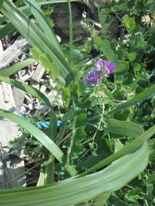紫のハマエンドウ