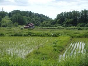 きれいな田圃