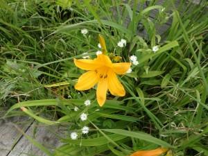 エゾカンゾーと白い花