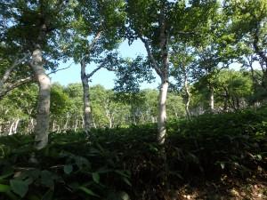 絵になる白樺林