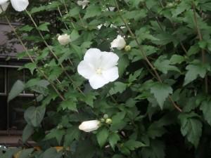 大通公園の きれいな白い花