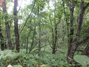 自然のままの林