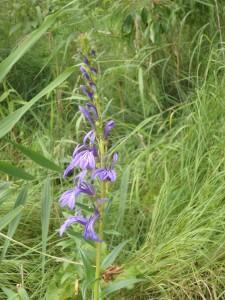 紫のサワギキョウ