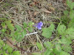 紫のナミキソウ