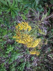 黄色いキオンの花