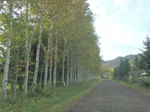 きれいな白樺林