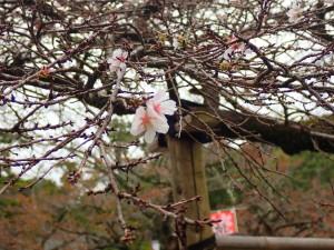 二季咲桜(にきざきさくら)というらしい