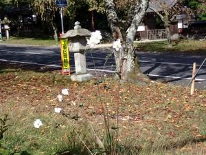 日吉馬場の名の知らぬ白い花