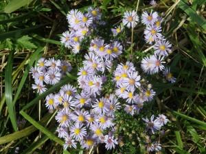 薄紫のヒメジョオンの花