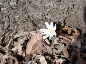 3月から咲く