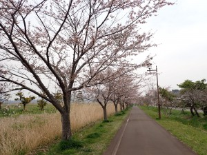 きれいな桜並木ににっこり
