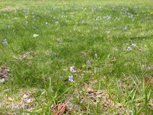 紫のスミレが咲く