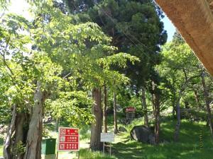 本堂横にある三本杉
