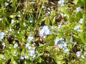 エゾムラサキの可愛い花