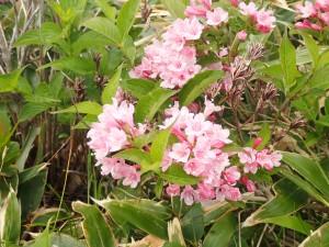 ピンクのきれいな花