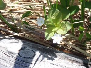 可愛い白い花