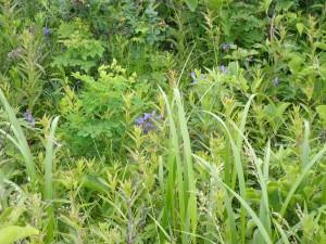 ムシャリンドウの群生