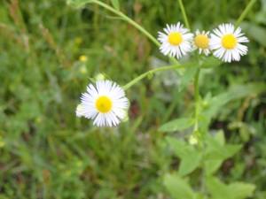 あちこちに咲く白い花