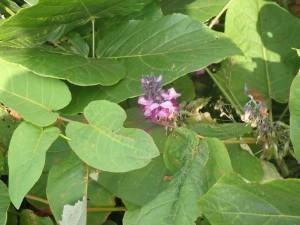 名の知らぬ青い花