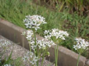 きれいな形のニラの花