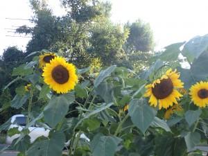 花壇に大きな向日葵