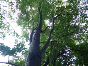 大きな木だ