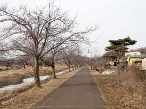 あとひと月で桜並木になる