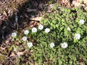 ころんとした白い花