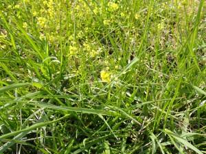 咲き始めの黄色い花