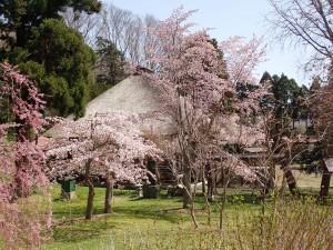絵になる今年の桜