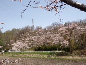 土手に咲く桜の波
