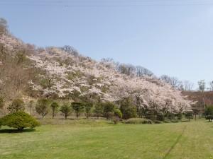 きれいな桜色
