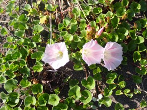 桃色の清楚な花