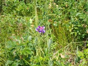 可愛い青い花