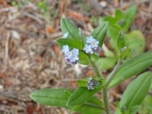 清々しい青い花